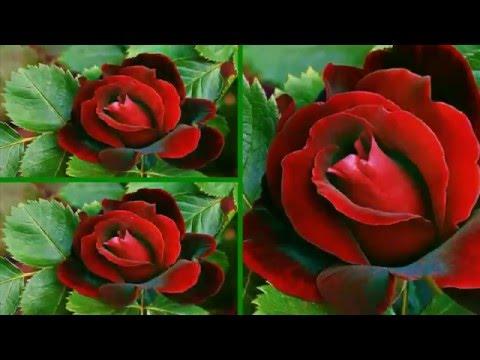 Красивые БУКЕТЫ из РОЗ - UFL. Bouquets of roses.из YouTube · Длительность: 50 с  · Просмотры: более 8.000 · отправлено: 28.04.2014 · кем отправлено: UFL - онлайн сервис доставки цветов