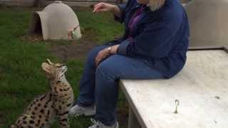 Коты сервалы самые крупные коты