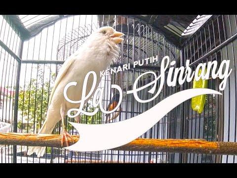 Download Lagu BRANDY WATCH : Jual Burung Buat Nikah - Kenari Putih LA SINRANG Gacor Ngedur Panjang
