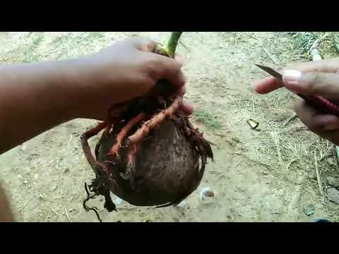 cara-membuat-bonsai-kelapa-jadi-pecah-daun-cepat