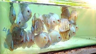 Thiên đường cá DĨA ngụy trang trong ngôi nhà nhỏ