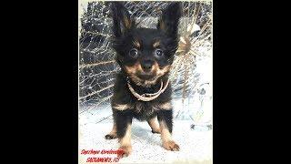 Собаки породы русский той, щенок 3 месяца, длинношерстный русский той