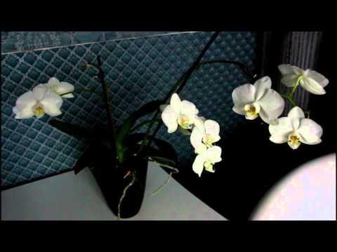 Как заставить орхидею обильно цвести:)