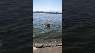 VIDEO Lady Zielinski bagno nel lago per il suo labrador