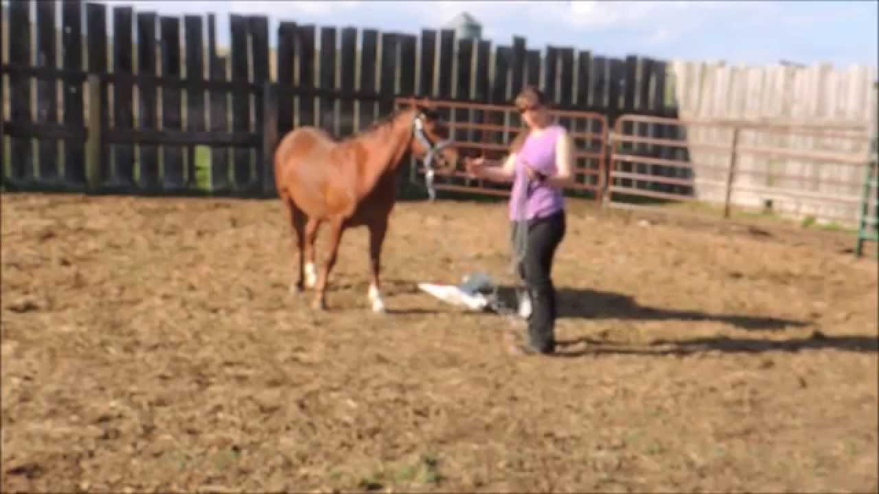 hight resolution of cherry ridge ponies sonnet welsh pony harness saddle training part 2