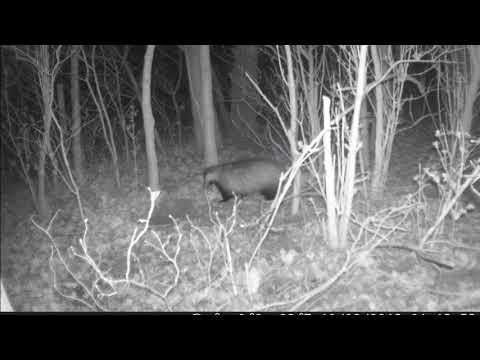 Wilde dieren om ons heen  (das en vos)