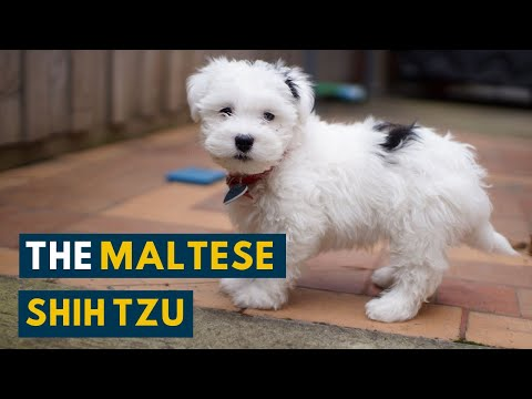 Maltese Shih Tzu: Seven Unbelievable Facts About the Malshi!