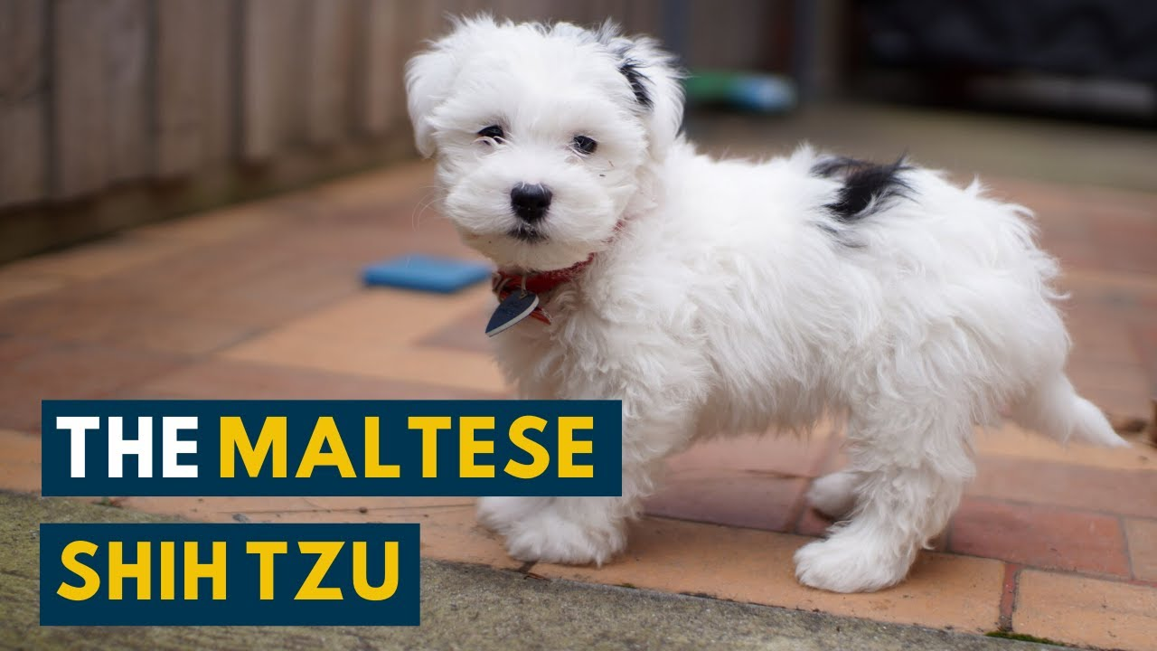 Maltese Shih Tzu Seven Unbelievable Facts About The Malshi Youtube