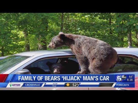 Otis - Man Vacationing in Gatlinburg Finds Bears Driving His Car
