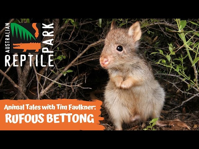 ANIMAL TALES WITH TIM FAULKNER | EPISODE SIX | RUFOUS BETTONG