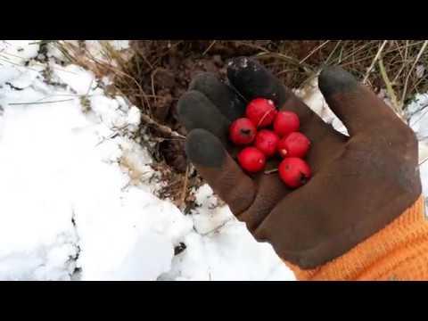 Как посадить боярышник осенью семенами