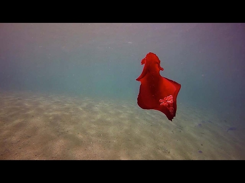 Mesmerising Bright Red Spanish Dancing Fish