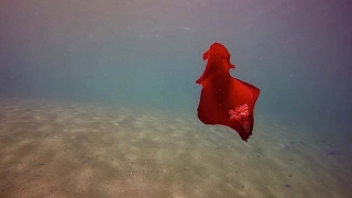 �������� ���� Mesmerising Bright Red Spanish Dancing Fish ������