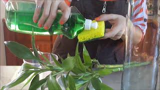 Cómo limpiar el envase y las raíces de tu Lucky Bamboo
