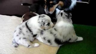 "Australian Shepherd Welpen, Mutter: ""kamerun's Everybody's Darling"" (chica),"