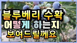 블루베리 수확영상&블루베리수확ASMR