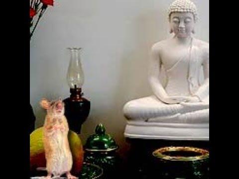 Chuột Vào Chánh Điện Niệm Phật Vãng Sanh