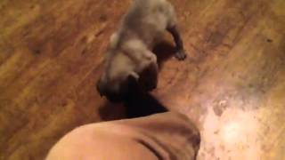 My Pug Attacking My Socks