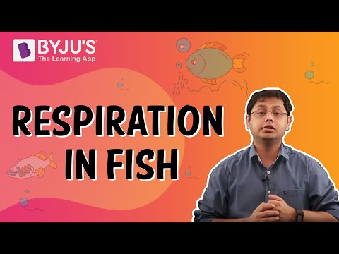 Respiration In Fish: How Do Fish Breathe?
