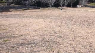 ボストンテリア ぽん酢・味醂のボール遊び!!
