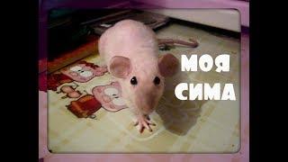 Крыса дамбо  Сиамская крыса  Декоративная крыса Сима