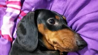 Hành hạ quấy rối chó lạp xưởng | TepsiDux