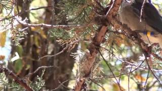 Hawks protect hummingbird nests