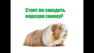 Стоит ли заводить морскую свинку?