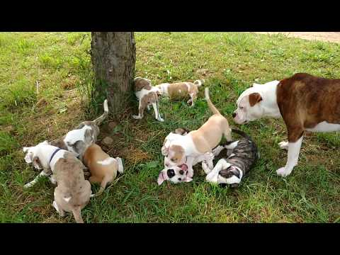 Alapaha Blue Blood Bulldog With Puppies, Dogs, Playing & Chickens 8 Weeks.
