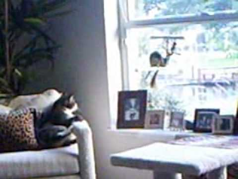 Monty the Quaker parrot and Max our Manx cat 07/2010.wmv
