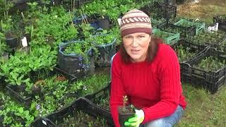 Как размножать и ухаживать за брусникой