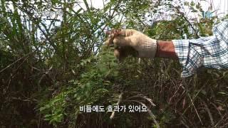 한국기행 - Korea travel_화순, 2부 약초의 고장, 구절초와 산삼_#002