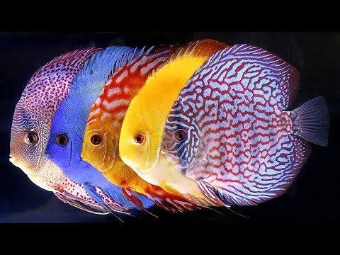 16 Varieties Of Discus Fish