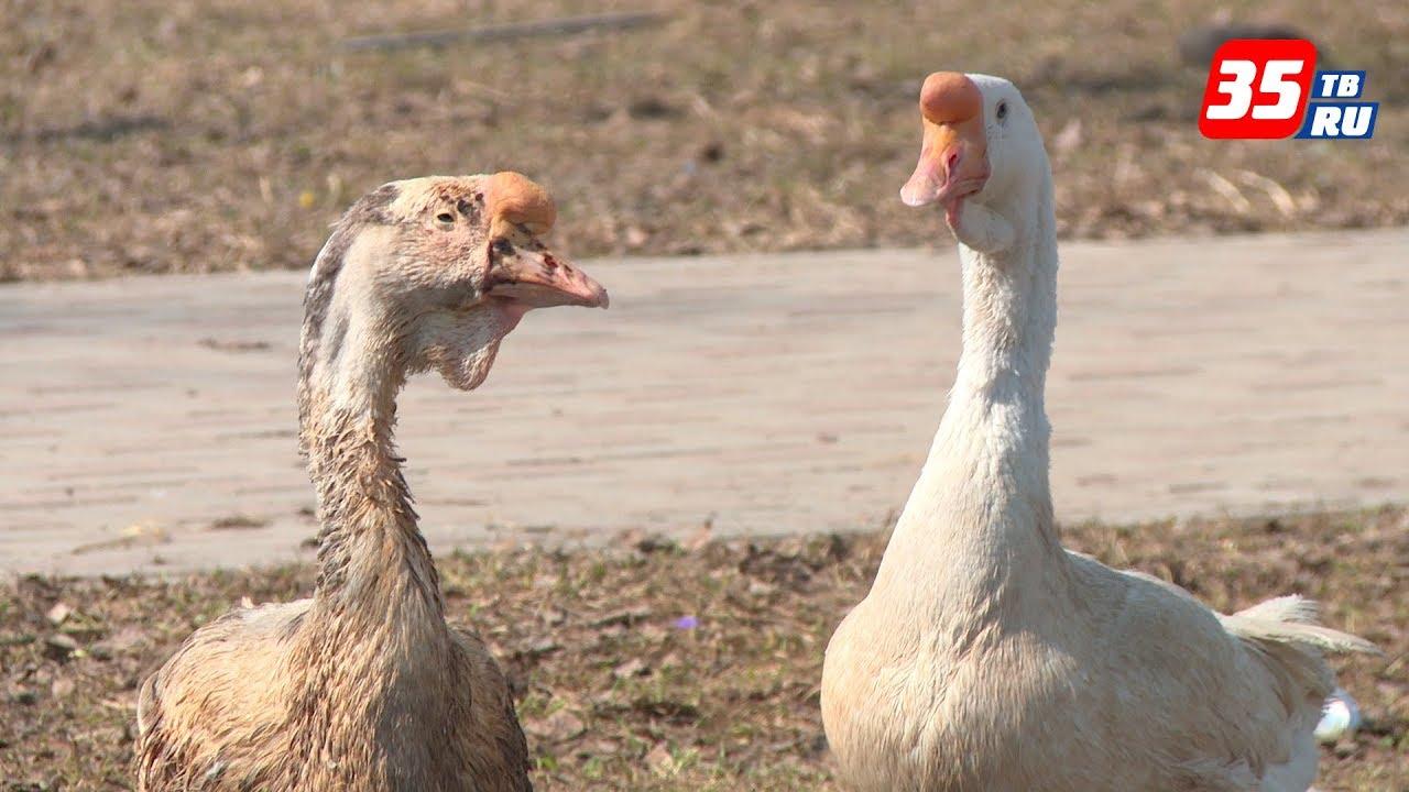 Жили у бабуси веселые гуси: какие бывают породы