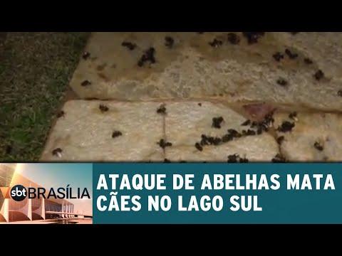 Ataque de abelhas mata cães no Lago Sul | SBT Brasília 03/07/2018