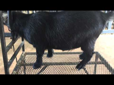 Grooming a African Pygmy Goat for a show (Part 1)