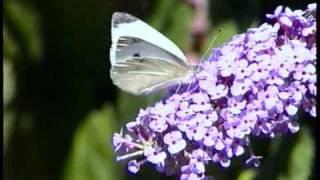 Vlinders op de vlinderstruik (Buddleja davidii) in onze tuin - Butterflies in our garden