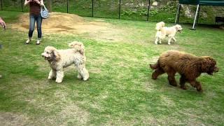 セラピー犬として高い資質を持つオーストリアン・ラブラドゥードル 見た...