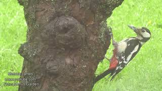 Great Spotted Woodpeckers In My Garden -Collecting Moss