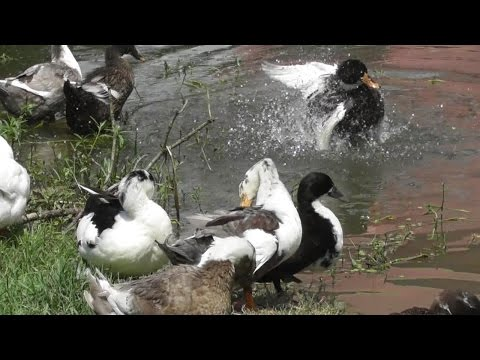 Domestic Duck Bathing.
