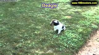 Beagle, Puppies, For, Sale, In, Gresham, Oregon, County, Or, Multnomah, Washington, Clackamas, Lane,
