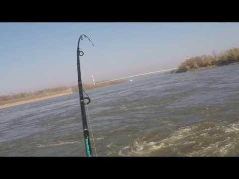 Ohio River Hybrid Bass