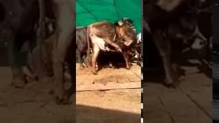 Komik Hayvanlar - Çift filtreli doğal süt :)