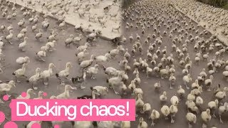 Duck Stampede Captured in China