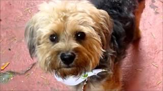 Adoptable-Silky-Terrier-Ken-Mar-Rescue-Solomon-8-13-13