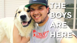 Getting My Livestock Guarding Dogs Great Pyrenees / Anatolian Shepherds Harley and Hercules To Texas