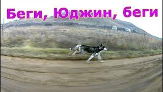 Максимальная скорость Хаски. Maximum dog speed