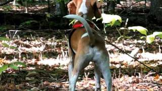 Coleman The American Foxhound Dog barking at deer in the wooods at ...