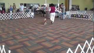 Bluegrass Classic - Alltech Arena - Open Dog Class - Cavalier King Charles Spaniel