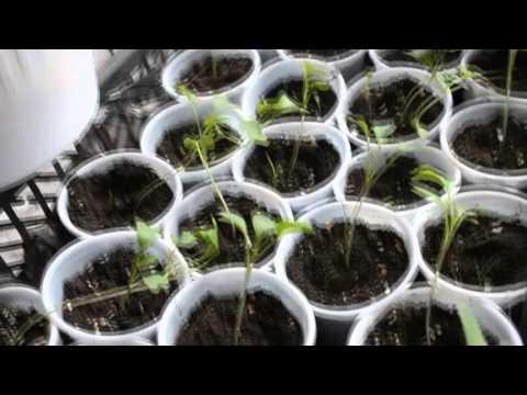 Капуста Брокколи, выращивание, уход.